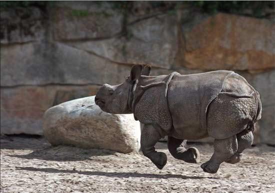 Rinoceronte saltando