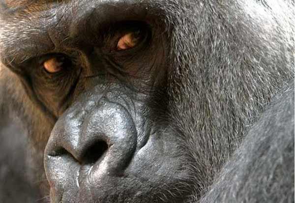 Gorila-Pensante