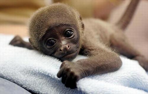 gorila recien nacido