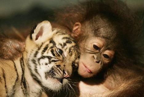 gorilas tigre