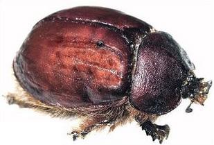 Cochineal Beetle